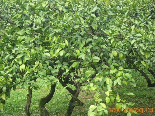 дерево с зелеными мандаринами