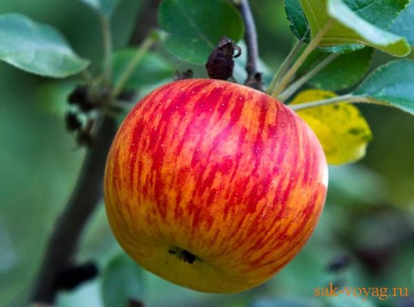 яблоко -низкоркалорийный и полезный продукт