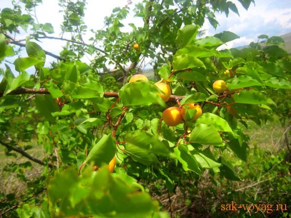 рецепт приготовления абрикосового джема