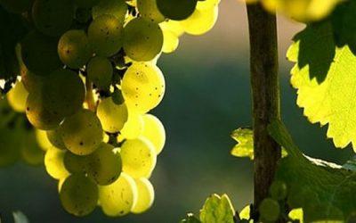 Рислинг – один из лучших сортов винограда